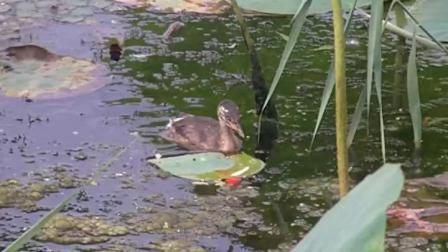 沈阳东陵荷花湖的小野鸭