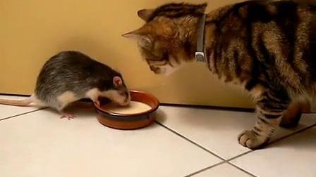 【藤缠楼】搞笑动物!老鼠抢了小猫的饭碗_标清