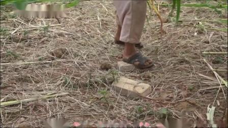 【走进农户】黔东南蝗虫蚂蚱养殖视频【湾水影视】