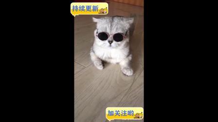 萌猫带墨镜帅呆了   搞笑视频
