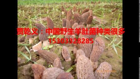 贾乾义说:中国野生羊肚菌种类很多