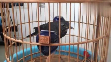 喂百舌鸟吃面包虫,一顿能吃多少只?最后百舌鸟咋还有脾气了!