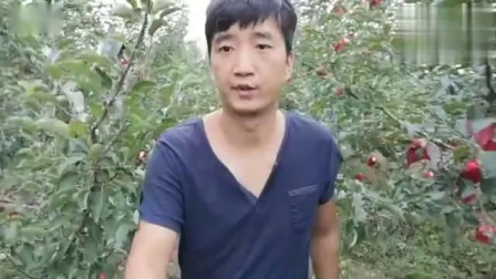 苹果熟了,果农说这种果子才好吃,拿到手后颠覆认知
