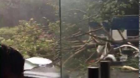 山竹横扫大树