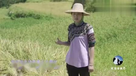 云南大山元阳哈尼梯田,竟可一边收割水稻一边抓鱼