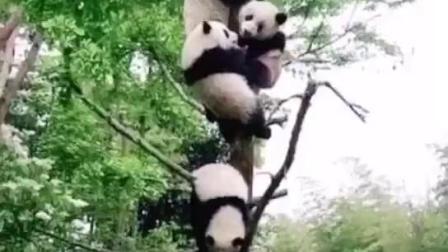 我现在才知道,原来国宝大熊猫是树上长的,难怪那么珍惜搞笑视频