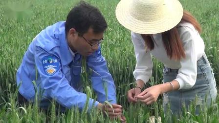 安阳全丰技术人员向农机网记者展示全丰无人机喷药效果