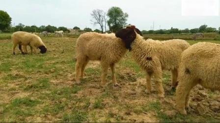 玛丽有一个小羊羔童谣诗歌诗歌绵羊视频儿童儿童幼儿