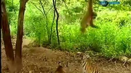 猴子捉老虎