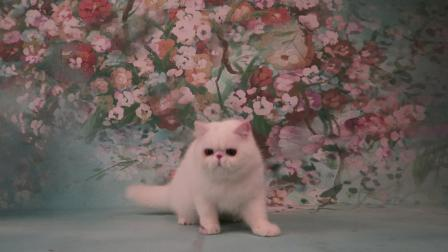 纯白色异国短毛猫 男孩[紫英猫舍]