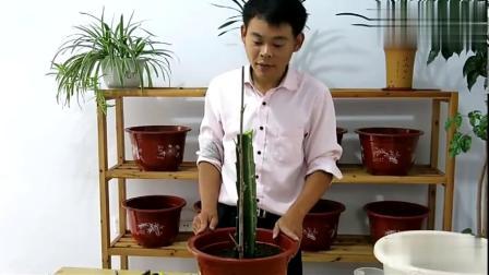 火龙果不开花结果?老萧教你种植100%开花结果的火龙果盆栽