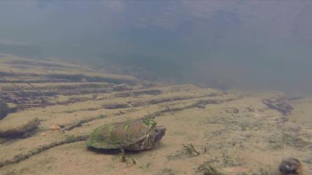 Flattened Musk turtle in Alabama