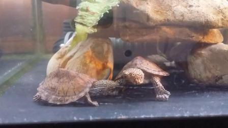 ヒラタニオイガメFlattened musk Turtle