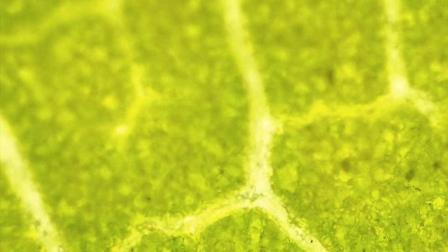 黄叶在显微镜中翻滚
