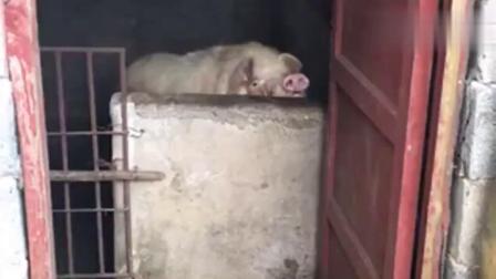 我家害羞的猪,你还看,猪就不要面子了?搞笑