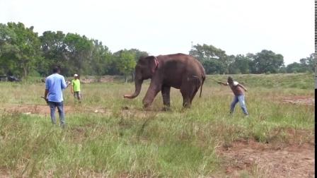 老弱的大象正在受到善良野生动物官员的医治
