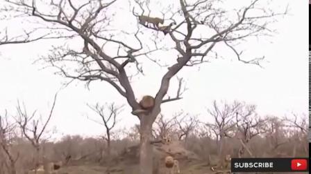 母亲猎豹拯救它的宝贝失败和狩猎鹰复仇