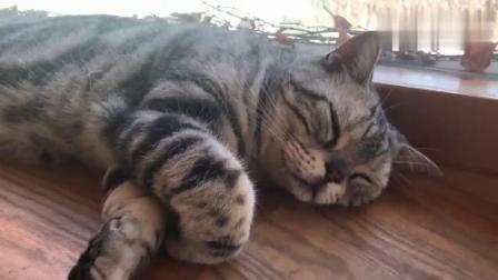 观复猫TV——马都督打呼噜