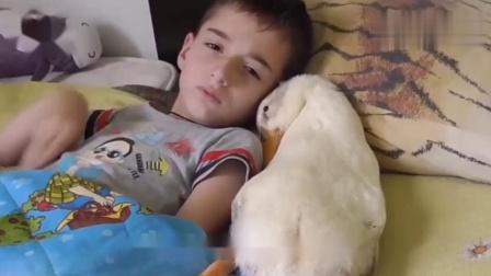 小鸭子陪主人午睡,结果自己先睡了,打呼噜的声音令人哭笑不得!