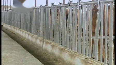 晋南牛养殖技术(上)