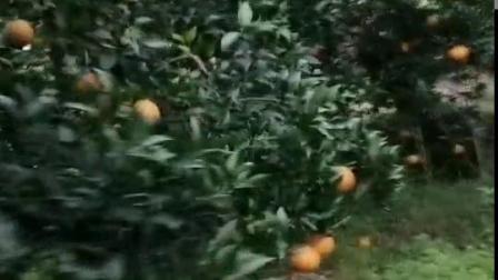 绿品国度早上的绿色果冻橙爱媛38号果园,美吧!开工 采摘
