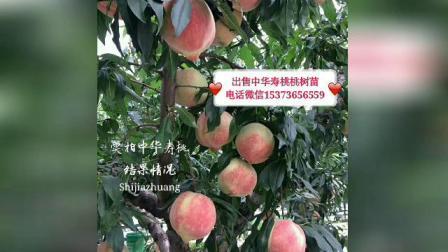 石家庄新品种桃树苗,中华寿桃桃树苗15373656559中华寿桃几月份成熟?中华寿桃桃树苗价格?