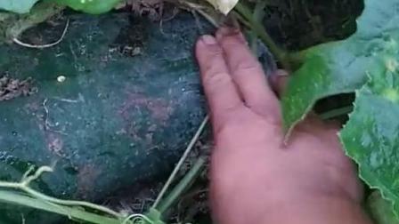 找到了一个大西瓜
