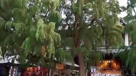 长在丽江古街树叫怪柳,怪柳有50多年树龄