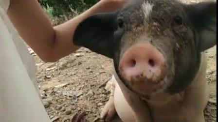 猪猪这是要干什么呢?
