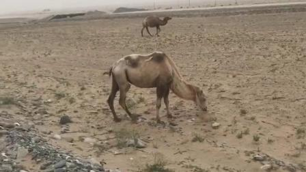新疆风情-野骆驼穿越千年依然矫健