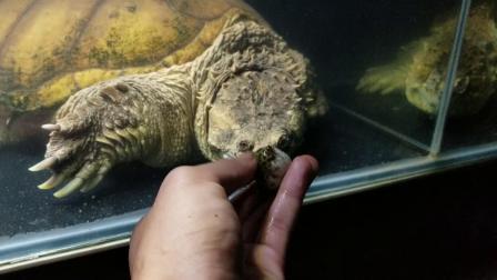 在网上买了几条河豚喂佛鳄龟