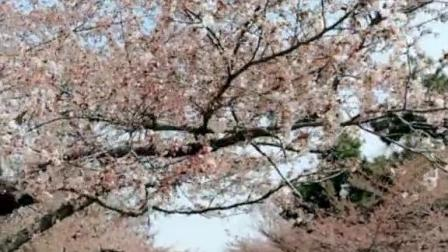 青岛中山公园的樱花含苞待放