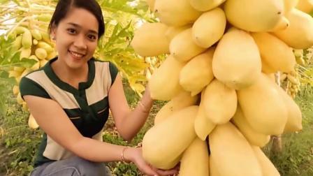 在最矮的木瓜树下,伸手就能摘下木瓜,为什么木瓜也能盆栽呢