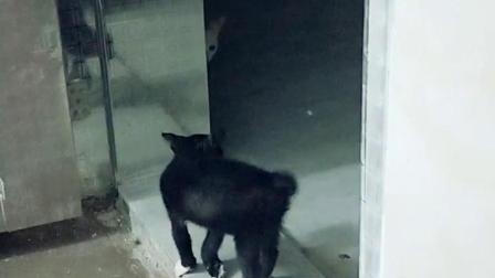 发现白狐精?它被吓得腿软了