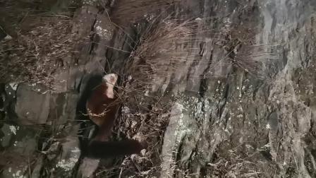 武当山师父偶遇灵兽-飞狐