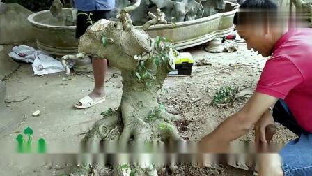 把树桩雕刻成这样还能成活?难得的盆景树桩,造型独特,爱不释手