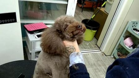 宠物美容师培训学校实操课视频:泰迪八字头精修示范