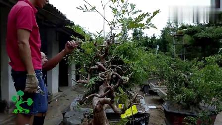 枝叶乱糟糟的番石榴树桩,经过小哥的修剪,完成后造型好看,精品