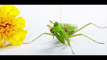 猎奇:盘点螳螂神级杀手操作,昆虫里打架最厉