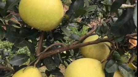 容县蜜柚上市,不是梅州,不是福建,不是桂