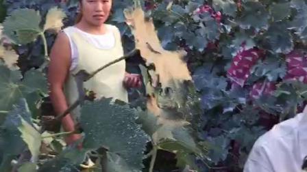 河北唐山玉田使用农富天下纯硫酸钾复合肥葡萄效果展示!