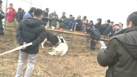 """2018-2019""""同华杯""""中国中亚猎狼犬竞技公开赛Ⅱ"""