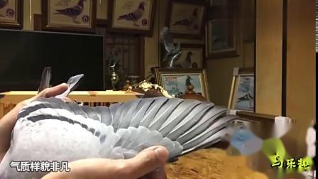 信鸽鉴赏:瓦灰雄鸽,凡布利安娜系血统,是一羽超级赛鸽!