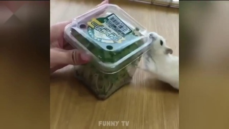 前方高萌!最逗的仓鼠太可爱了哈哈哈哈哈哈哈