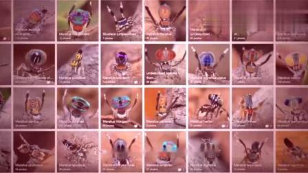 世界最可爱的蜘蛛,求偶方式惊艳,给你一个爱