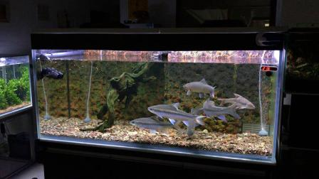大型原生吉罗鱼缸