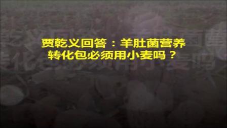贾乾义回答:羊肚菌营养转化包必须用小麦吗?