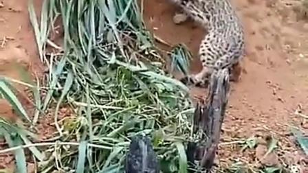 豹猫好凶呀!
