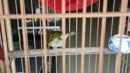 刚进笼十天的柳莺有点野