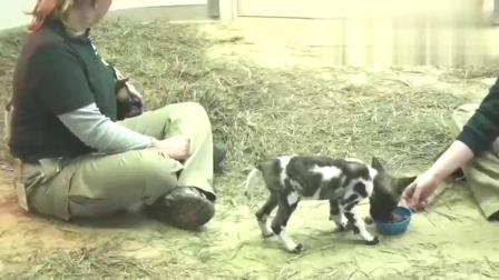 动物世界:国外牛人把非洲野狗当宠物养佩服他